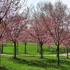 Kirsikkapuut kukkivat ©ullagogo #pientalojapiha