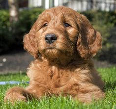 Must have a Red Miniature English Goldendoodle sometime in my life