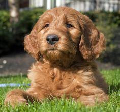 Dexter the Goldendoodle Pictures 895713