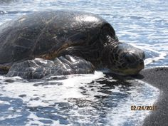 Green Sea Turtles - Punalu'u Beach, Big Island, Hawaii