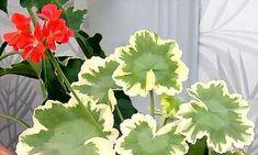 Geranium 1 Seedlings, Plants, Geraniums, Flowers, Spring, House Plants, Wind