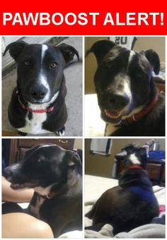 Is this your lost pet? Found in San Antonio, TX 78245. Please spread the word so we can find the owner!  Black with white paws on all four paws a white chest up to neck with some black spots, white on face and a spot on top of neck area. He has been fixed and has a chip but was never registered. Info i got was and address that didnt exist. The owners names maybe a Jessica and Roy  schautteet. I attempted the number the vet clinic gave but no response. I would love to reunite ASAP before…