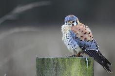 justcallmegrace:    Kestrel pose by namra38 on Flickr.
