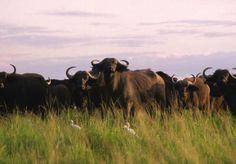 Cape Buffalo, Kidepo Valley National Park