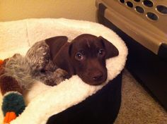 Our new baby- German short haired pointer, Scarlett.