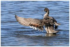 Birdwatching and Photography - Refuge LPO: Canard pilet Anas acuta  Northern Pintail