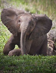 Baby elephant in South Africa - Sabie