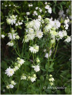 "in my garde...  Aquilegia vulgaris 'White Barlow"""