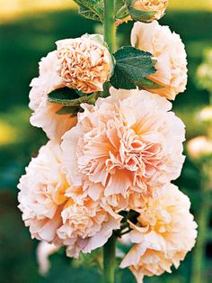 peaches n dreams hollyhock