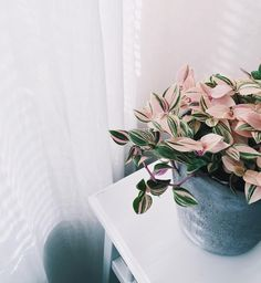 Quick To Build Moveable Greenhouse Options Yes, They're Real: 7 Stunning House Plants That Are Actually Pink Wandering Jew Tradescantia Tricolor Plantas Indoor, Wandering Jew, Decoration Plante, Home Decoration, Deco Nature, Best Indoor Plants, Indoor House Plants, Porch Plants, Potted Plants