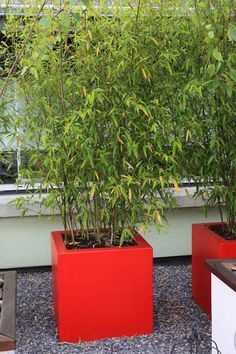 Can I keep bamboo in the bucket Balcony Plants, Patio Plants, All Plants, Garden Plants, Phyllostachys Nigra, Container Plants, Container Gardening, Bamboo In Pots, Yellow Bamboo