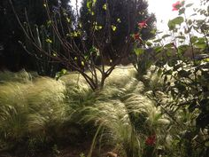 Fig tree and hibiscus on stipa grasses at DarZahia' garden.