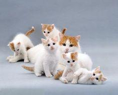 Turkish Van Cat kittens!