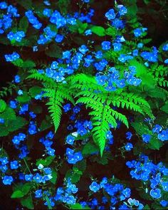 Blue Wildflowers.. Blue veronica with ferns. Gorgeous for the shade garden! #FlowerGarden