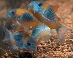 Corydoras venezuelanus - Venezuela's Cory 3.5cm - $19.00 : Second Nature Aquariums, Live Fish & Plants Delivered Australia Wide