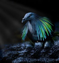 Meet The Closest Living Relative To The Extinct Dodo Bird With Incredibly…