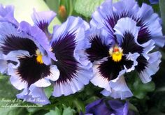 Ruffled Pansies (Garden of Len & Barb Rosen) http://ourfairfieldhomeandgarden.com/spring-is-here-early-spring-blossoms/