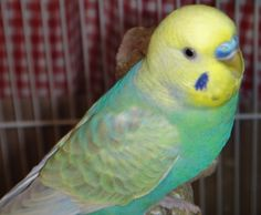 Opaline Yellow Face Type 2 Grey Wing Cobalt Blue