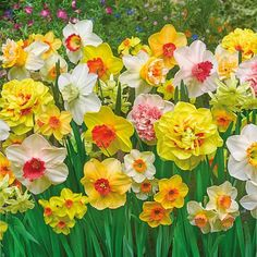 Spring Bonanza Daffodil Mixture features winning narcissus varieties from leading daffodil growers and hybridizers. They bloom all spring and are deer resistant. Daffodil Bulbs, Daffodil Flower, Bulb Flowers, Daffodils, Narcissus Flower, Colorful Flowers, Spring Flowers, Beautiful Flowers, Garden Bulbs