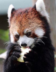 Red Panda - super cute
