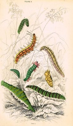 """Jardine Butterfly Print - """"VARIOUS CATERPILLARS"""" - Hand-Colored Engraving - 1833"""