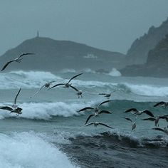 Seagulls, Cape Cornwall in the Distance