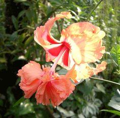 【鉢植え】 ハイビスカス オレンジフラミンゴ