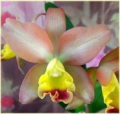 Lc Bigtime 'NN' In Spike Fragrant Orchid Plant