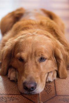Golden Retriever #Dogs #Puppy