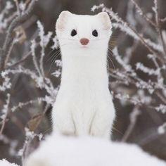 White Weasel's girlfriend. Lol.