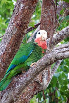 Native Abaco parrot spotted in Man-o-War Cay in Abaco, the Bahamas