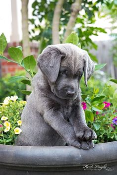 Charcoal Labrador Puppy by wolfhound