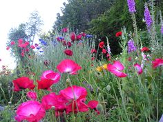 shirley poppies and foxgloves and campion and bachelors' buttons