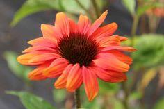 Billede fra http://www.froetorvet.dk/Resources/Files/blomsterfroe/Echinacea-hybrida-Cheyenne1.jpg.