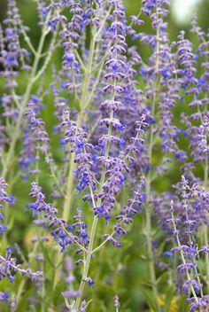Perovskia 'Blue Spire' Olaf, Backyard, Culture, Fruit, Flowers, Gardens, Tower, Shrubs, Plants