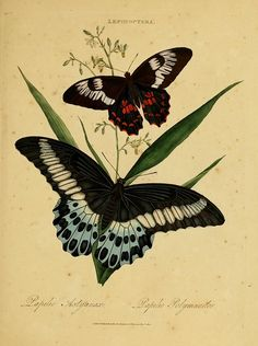 An epitome of the natural history of the insects of India : - Biodiversity Heritage Library 562 x 755 Illustration Botanique, Butterfly Illustration, Butterfly Drawing, Butterfly Painting, Botanical Illustration, Illustration Art, Butterfly Artwork, Vintage Butterfly, Fauna