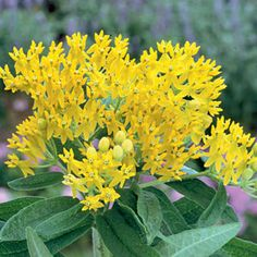 """A yellow-flowered Butterfly Weed with great drought tolerance; attractive to butterflies and bees. 2'6"""""""