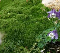 Desert moss (Arenaria 'Wallowa Mountain' is an exceptionally short and compact groundcover that is superb for xeric and fairy gardens, crevice gardens, and as a companion to hardy cacti & succulents.  A 2015 Petites introduction.