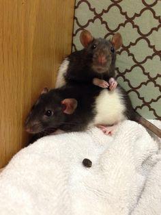 Dumbo Rats. So Cute! I want one!