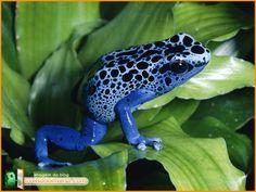 Poison dart frog (Dendrobates azureus).