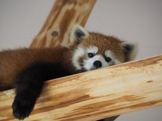 Red panda at the Adventure World in Wakayama prefecture, Japan