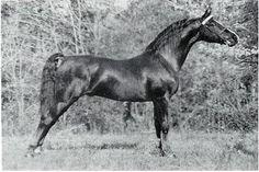 Hanover Super Dan, uno de los sementales sobre los que se fundó la primera asociación europea de caballos de raza American Morgan Horse en Suiza.