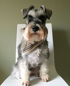 Schnoodle Dog, Dog Pin, Mini Schnauzer, All Things Cute, Schnauzers, Baby Dogs, Mans Best Friend, Puppies, Pets