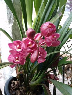 "Cymbidium Lovely Witch ""Fireworks"""