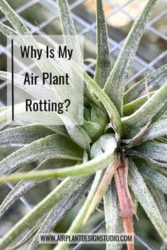 What is air plant rot, how does it occur, and how can you prevent or stop it? Learn more about this common air plant care issue from Air Plant Design Studio. Garden Plant Stand, Plant Stands, Garden Plants, Moss Garden, House Plants, Cactus Plants, Herb Garden, What Are Air Plants, Types Of Air Plants