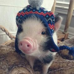 What's cuter than a pig in a hat??