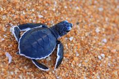 Tiny baby sea turtle crossing the sand on its rush to the sea. Cute Baby Turtles, Cute Baby Animals, Turtle Baby, Leatherback Turtle, Tortoise Turtle, Turtle Love, Ocean Turtle, Wale, Ocean Creatures