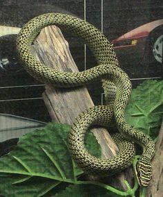 Animal em Destaque - Cobra-voadora