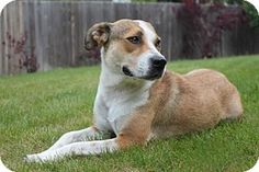 Aurora, CO - Beagle Mix. Meet Mona Lisa, a dog for adoption. http://www.adoptapet.com/pet/13033087-aurora-colorado-beagle-mix