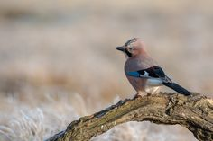 500px Common Jay   by  Nonaka
